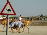 Camel Crossing, Dubai
