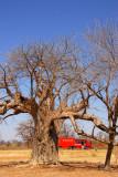 Baobab forest near Diboli, Mali