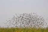 A flock of birds known locally as mange-mille