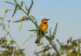 Little Bee-eater, Niger