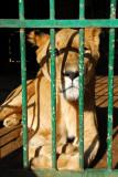 Skinny lion, Niger National Museum