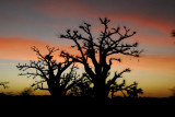 Baobab trees along Senegal's Route Nationale 1 just before sunrise
