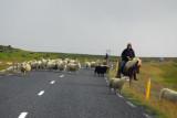 Icelandic sheep farmer herding from horseback