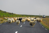 Flock of sheep on the Ring Road, SE Iceland