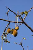 Baobab fruit, IFAN museum garden