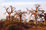 Areas along Route Nationale 1 are thick with baobabs