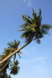 Coconut Palm, Koh Samui