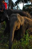 Baby elephant, Namuang