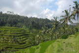 Rice terraces to the north of Ubud, Bali
