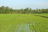 Flooded field of rice, Bali