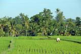 Worker tending a field of rice, Bali
