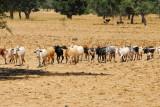 Cattle walking in a line outside a village