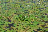 Lily pads, Bani River wetlands, Mali