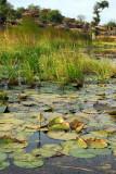 Lily pond, Dogon Plateau