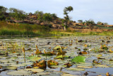 Lily pond, Dogon Plateau, on the road from Bandiagara to Tereli