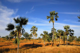 Palms on the road from Bandiagara back to Mopti