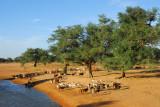 Livestock at the waterhole, Mali