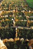 Onion fields, Daga-Tireli