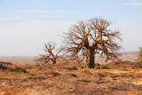 Baobab, Dogon Plateau