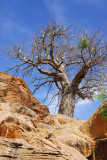 Baobab, Tereli