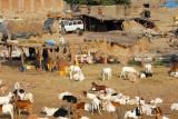 Livestock market outside Mopti