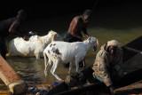 Washing livestock in the Niger River, Mopti