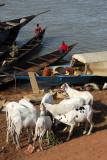Sheep, Mopti riverfront