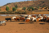 Cattle and sheep herds at a waterhole by a village along N16, Mali