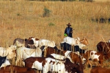 Man herding cattle, Central Mali