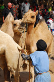 Tuareg trying to control his camels