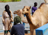 Unruly camels is probably why it took so long for the ferry to return this time
