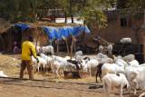 Herd of sheep along the railway tracks in Bamako