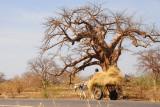 Donkey cart and baobab, Mali