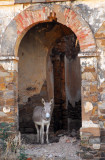 Donkey in the ruins of the Officer's mess