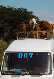 Van in Mali with a roof load of goats and sheep