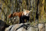 Red Panda, National Zoo, Washington DC