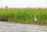 Egret in the grass along the Niger
