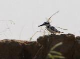 Pied Kingfisher, Mali