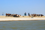 Fulani herders with there cattle on the North Bank of the Niger River