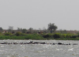 A herd of Fulani cattle swimming across the Niger River, Mali