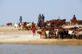 Fulani gathering their herd of cattle along the Niger River
