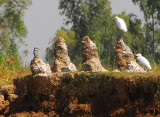Kingfisher and egrets perched on strange mounds along the riverbank, Mali