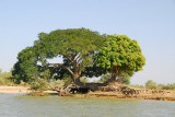 Another big green tree along the Niger