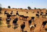 Herd of cattle, Western Niger
