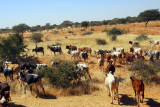 Another herd of cattle, Niger