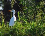 Great Egret, Niger
