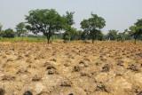 Yam field, Northern Benin