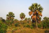 Palm grove, Central Benin