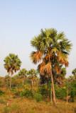 Coconut palms, Benin