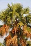 Coconut palm, Benin
